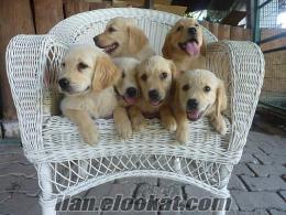golden retriever sevimli satılık yavrularrr