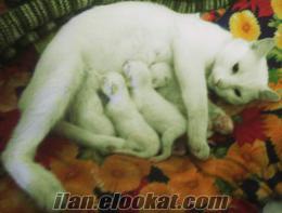 ıspartada satılık van kedisi yavruları