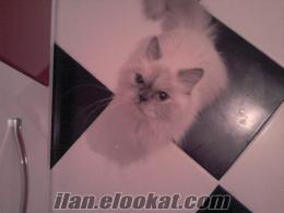 dişi İran kedime eş , kısır olmayan erkek, beyaz İran kedisi