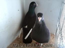 satılık adana güvercini adana dalıcısı adana yerlisi