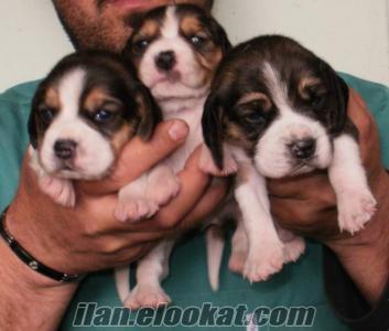 satılık beagle yavrular