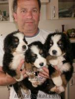 SATILIK * * * BERNESE DAĞ KÖPEĞİ * * * -- Royal Pet Club* da