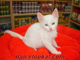 van kedisi zoo pet shop farkıyla**