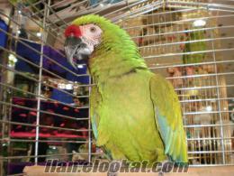 Çok evcil ara macaw Military (Asker)