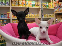 ZOO PET SHOP .NET ** chihuahua yavrularım**