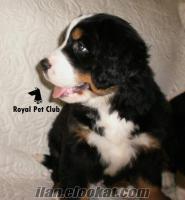 BERNESE DAĞ KÖPEĞİ - SÜPER FİYAT - Royal Pet Club