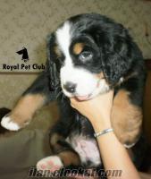 Satılık BERNESE DAĞ KÖPEĞİ - Royal Pet Club