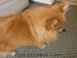 Satılık Pomeranian IST. (İyi bakabilecek bir aile aranıyor)