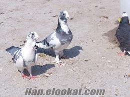 satılık adana yerli güvercini çift
