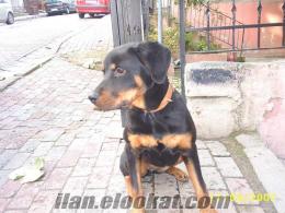 rottweiler alman 6 aylık dişi