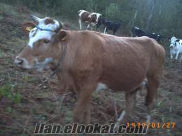 bartında damızlık düveler inekler holstain simental