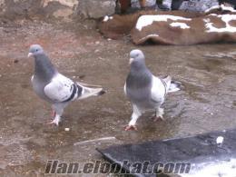 Kayseride takla güvercin