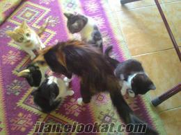 Sahibinden ücretsiz 4 Yavru kedi acil sahiplendirilecektir.