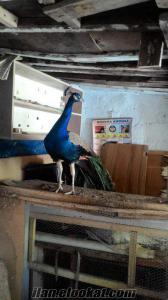 2 yaşında erkek mavi tavus kuşu