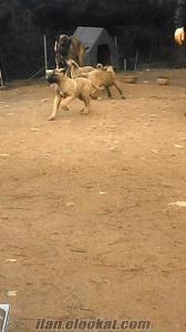 İstanbulda satılık kangal