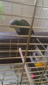 quaker monk (keşiş papağanı)