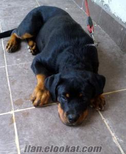 istanbulda satılık macar rottweiler 7 aylık.