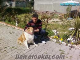 SATILIK COLLİE (LASSİE)KÖPEK
