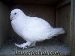 adananın en güzel güvercini