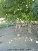 satılık kangal büyük ve küçük baş hayvan güdebilen