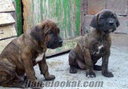 Osmangazide cane corsa yavrular satılık