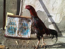 van merkez satlık taş ibik hithorozu ve arap tavuk
