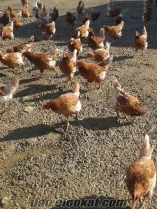 Manisada sahibinden satılık 400 tane piliç yumurtalık lojman brown cinsi tavukla