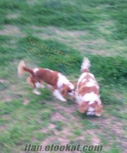 satılık cavalier king charles yavruları