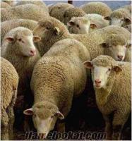 satılık koyun, keçi, yetişmiş çoban köpeği