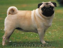 Uygun fiyatta pug cinsi köpek arıyorum