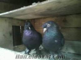 sakaryada sahibinde satılık kuşalar bilal pala