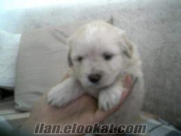 Ayvalıktan sahibinden satılık Rus Finosu yavrusu