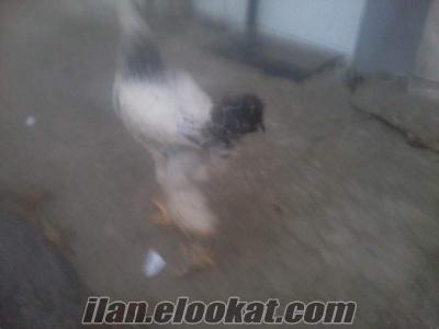 layt bragma horoz hertürlü süs horozu ve süs tavuklarıla takas