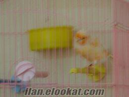 izmirde satılık kanaryalar
