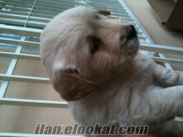 satılık golden köpekler