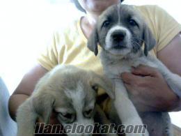 Şereflikoçhisarda sahibinden tazı yavrusu köpekler