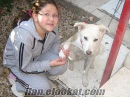 sibirya kırması köpeğime ankarada iyi  bakılacak aile aranıyor