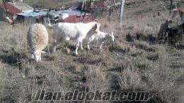 Esenyurtta satılık keçi