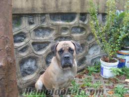 bullmastif bekçi köpek