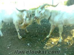 milas örende satılık saanen keçi sürüsü