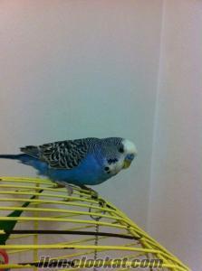 mavi kuş kayıp antalya kızılarık