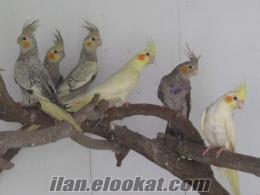 sultan papaganı 10 adet