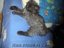 Ankaradan İran Kedisi Kırması yavru.