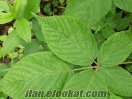 satılık ahududu yaprağı