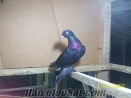 arap güvercin şebap aynalı