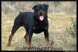 istanbuldan sahibinden satılık rodvaydır köpek