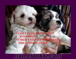 terrier yavrularımız süs köpeği