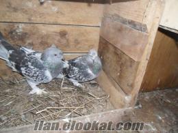 Satılık Çakmaklı Mardin Güvercinleri