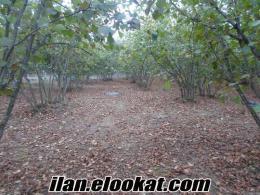 sakaryanın kocaali ilcesınde satılık fındık bahçesi.