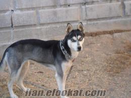 konyadan dişi husky i mavi gözlü 18 aylık